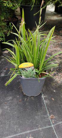 Turzyca Morrowa Carex morrowii ICE DANCE trawa ozdobna