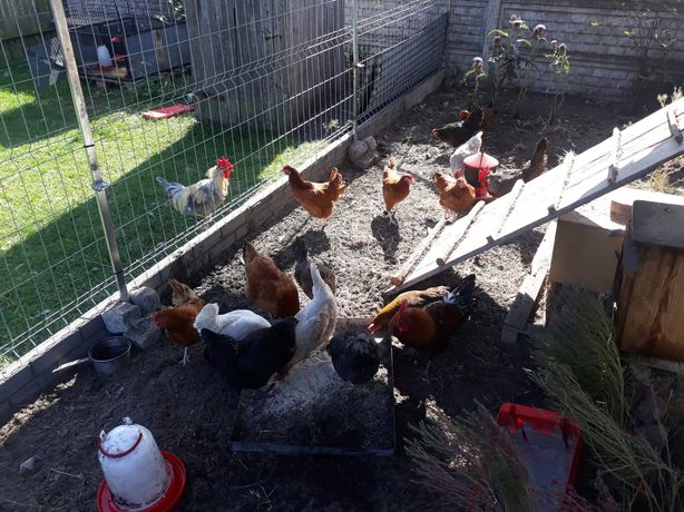 Jajka z przydomowej hodowli