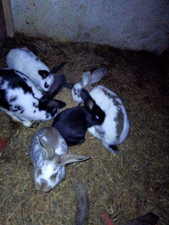 Króliki króliki króliki
