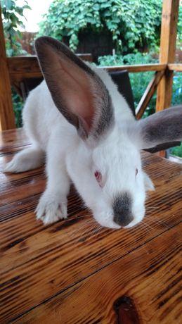 Кролики молодняк 3 месяца