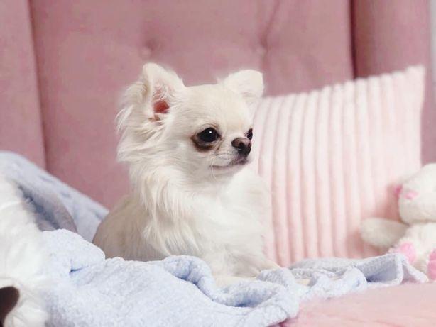 Chihuahua długowłosa krótkowłosa FCI