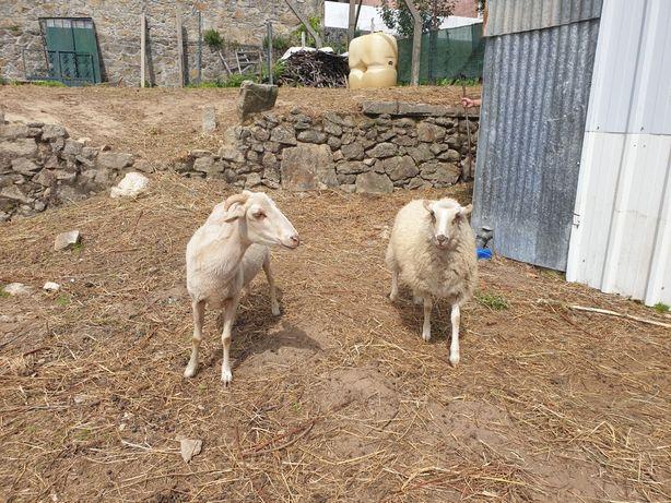 Vendo ovelhas normais e medias 7 no total