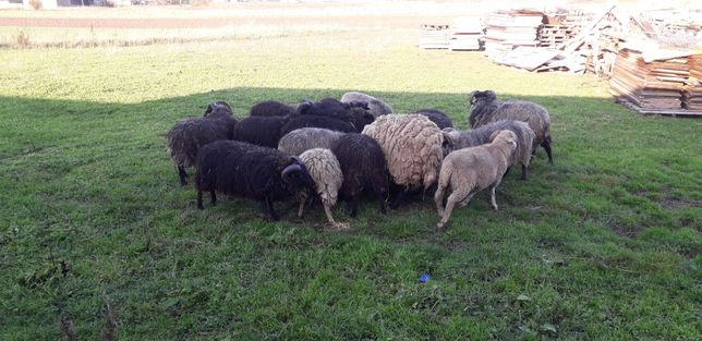 Owce baranki ekologiczne