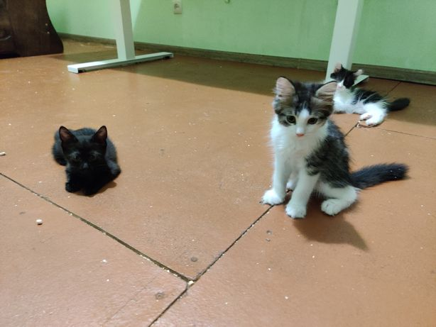 Котята Майкл, Джексонита и Тигрюня ( 3 месяца) ищут новый дом