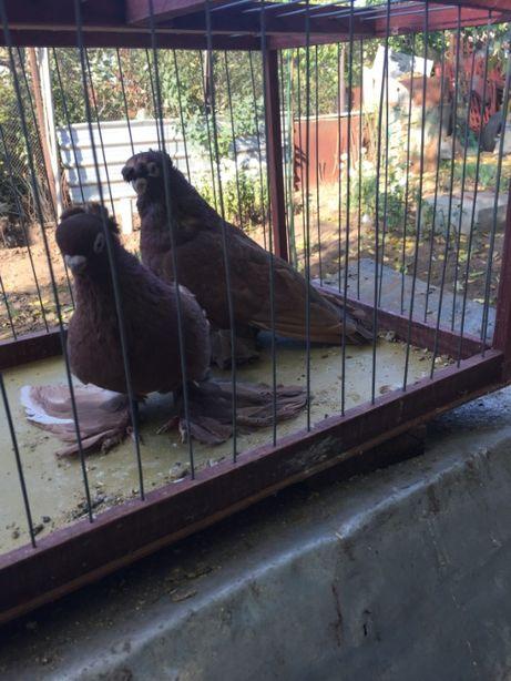 продам узбекских голубей коротко клювых руянов