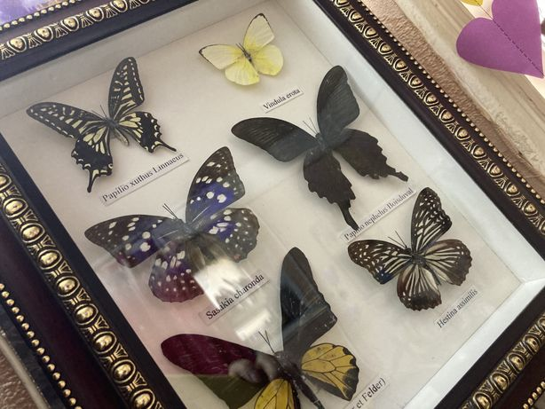 Бабочки в рамке , засушенные насекомые, картина