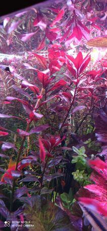 Roślinka Ludwigia red