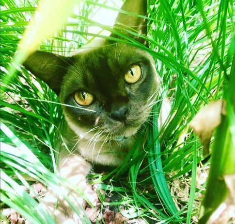 Koty burmskie burmanskie