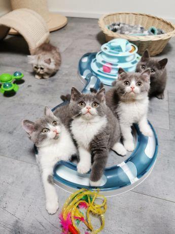 Koty Brytyjskie gotowe do odbioru, kotki i kocurki zapraszamy