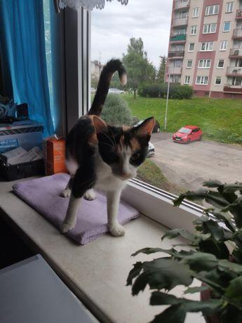 Znaleziono kota tricolor