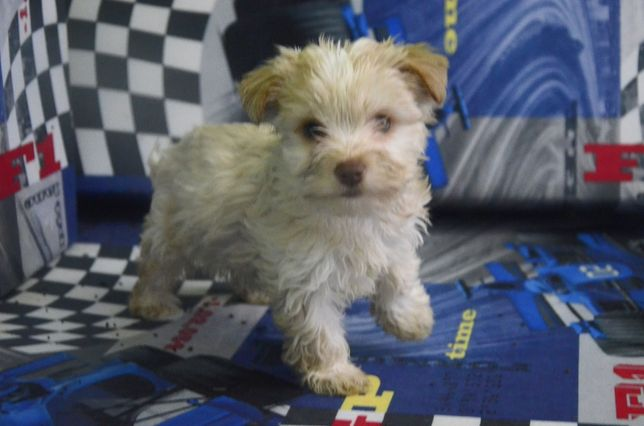 York Yorkshire Terrier Choco, black, goldust. white gold