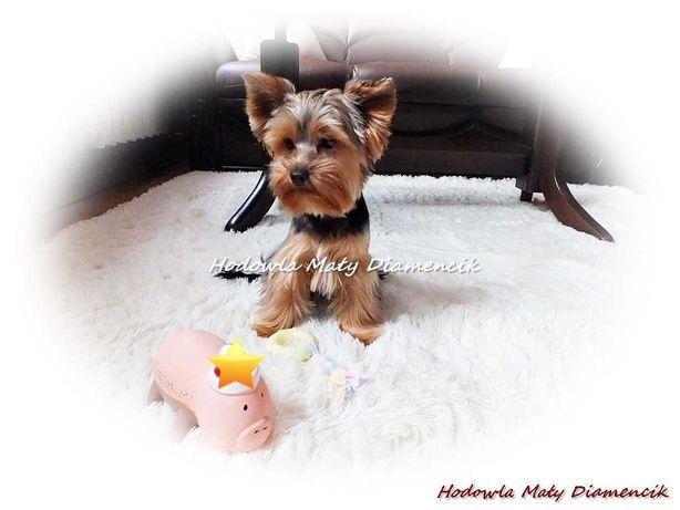 Yorkshire Terrier Miniaturka Piesek +Rodowód wielopokoleniowy+MikroCzi