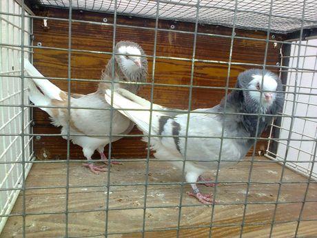 Gołębie kapucyny