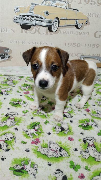 Джек Рассел терьер щенки Николаев - изображение 1