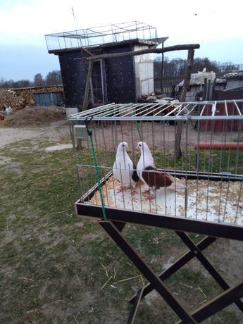 Sprzedam gołębie orliki lubelskie