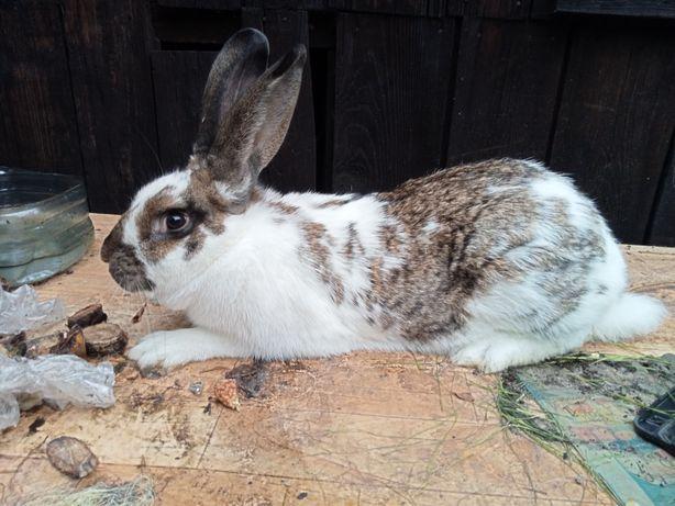 Sprzedam królika mieszańca samica