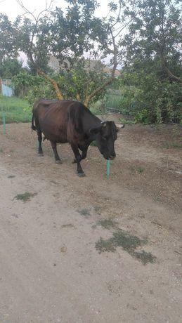 Продам  корову..