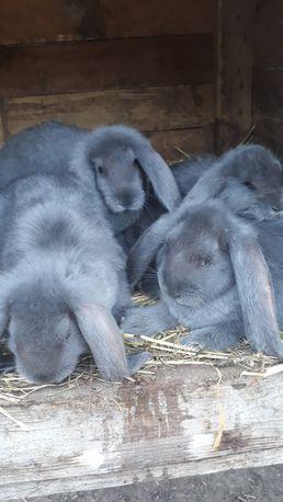 Młode króliki BFN