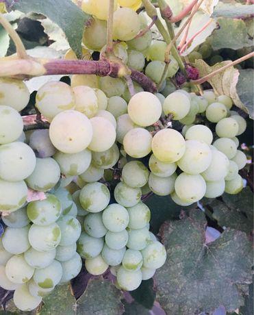 Виноград Изабелла крупный белый розовый на вино