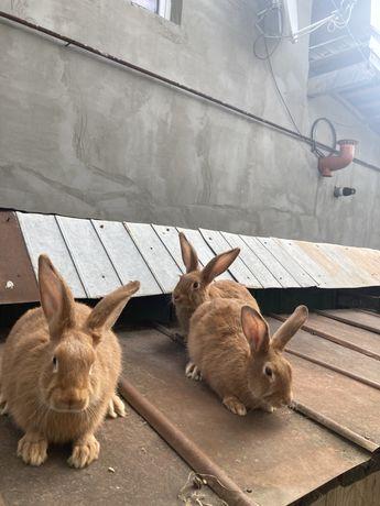 Кролики Бургундія молодняк.