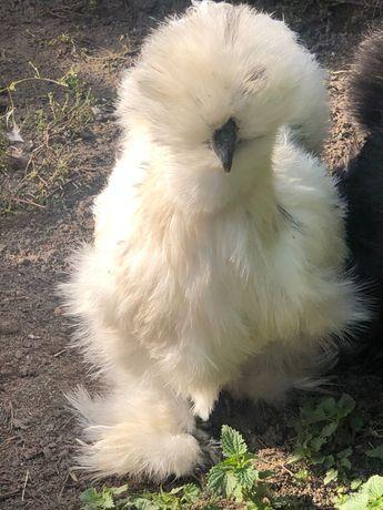 Silka jedwabista kurczaki