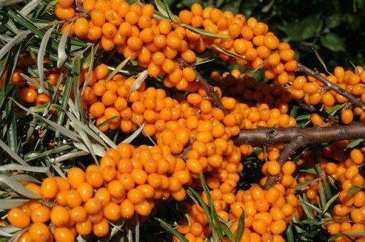 ROKITNIK- Owoce Lecznicze! 2 Odmiany!Duże sadzonki! Samopylny Rokitnik