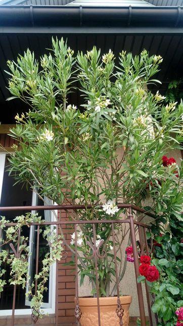Kwiat Oleander pospolity na balkon i taras