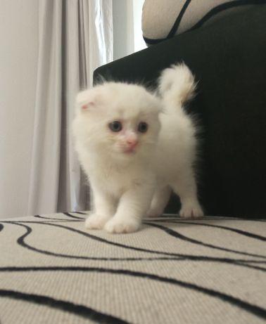 Котята шотландские