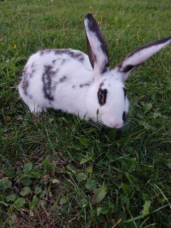 Sprzedam królika samca