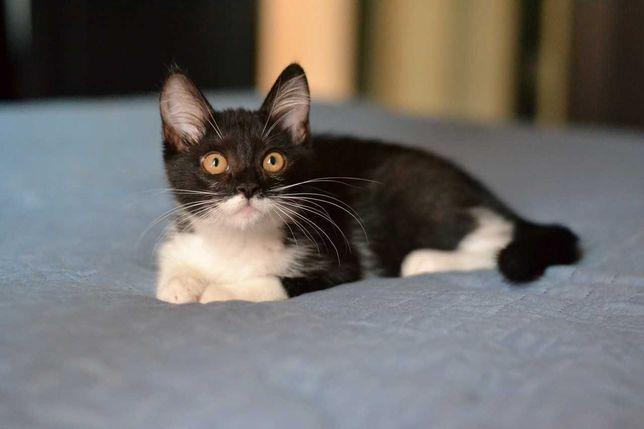 юна грайлива кішечка чорно-білого окрасу 7м