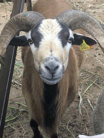 Vendo casal de ovelhas dos camarões macho 2 anos e meio e femia 1 ano