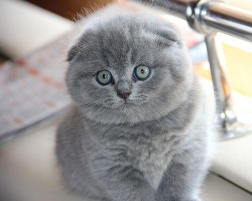 Шотландские Вислоухие котята котенок