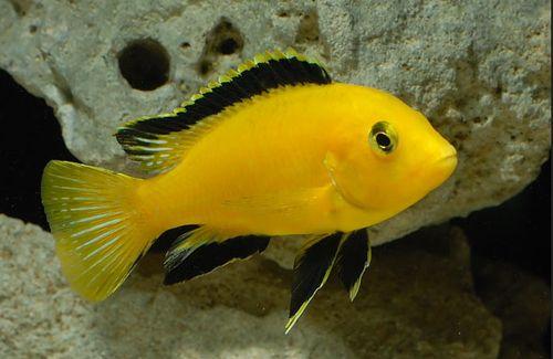 Labidochromis Caeruleus PYSZCZAK YELLOW Malawi 3-4cm Adamiak-ZOO