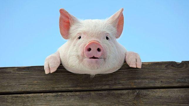 Продається свиня домашнього годування(без хімії)