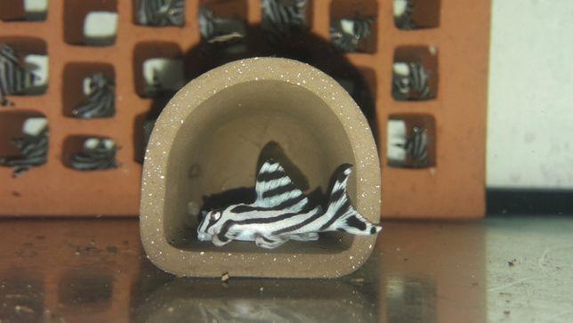 Zbrojnik L46 Hypancistrus zebra