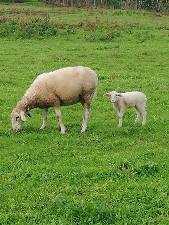 Vendo Ovelhas excelente produtoras de leite