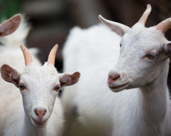 Молодые козочки от продуктивных коз