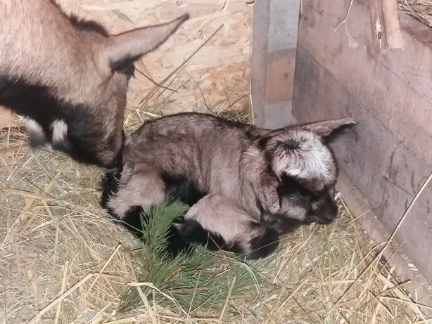 Нигерийские козы, козлята