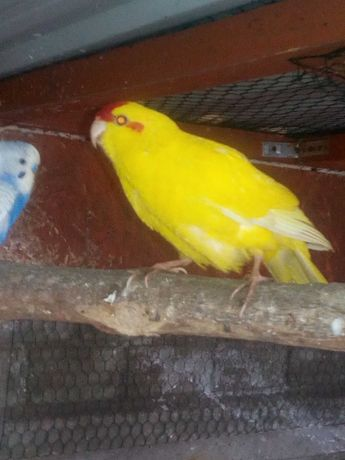 Samiec papugi falistej