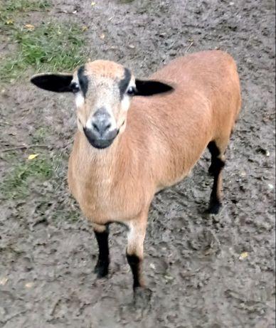 Owieczka kameruńska.