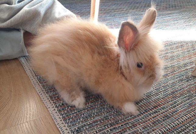Królik miniaturka, klatka dla królika, kuweta, osprzęt