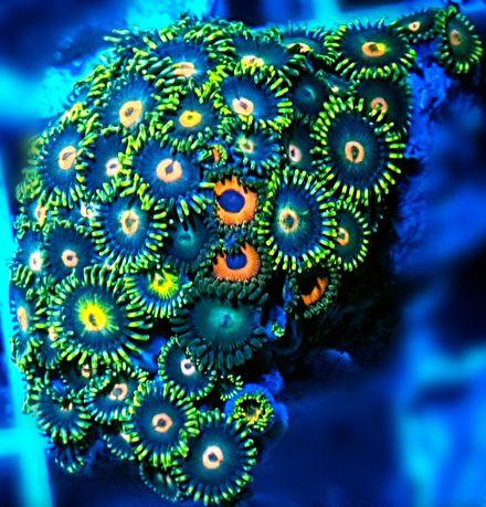 Zoanthus Zoa MIX akwarium morskie akwarystyka morska koralowiec