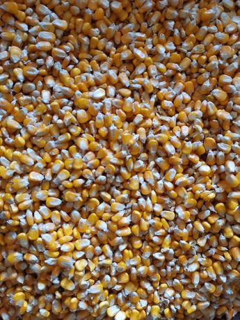 Wołek kukurydzy 25kg // suche, czyste ziarno