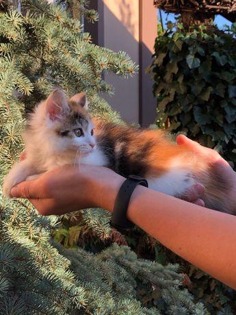Клубный котёнок курильский бобтейл. Отличная родословная. Титулованные