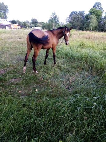 Лошадь Вестфальская