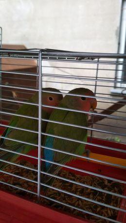 Папугаї нерозлучники