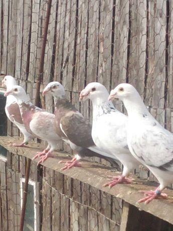 Staropolskie golebie
