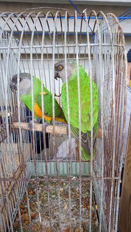 Синегальский попугай взрослая пара в наличии не дорого!!!