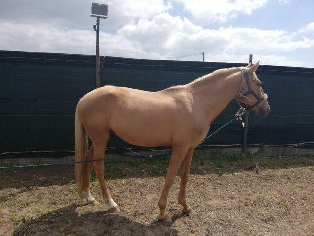 Cavalo Palomino Manso