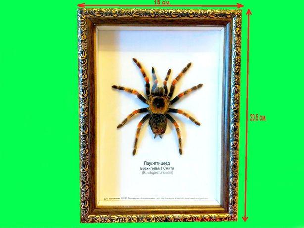 Настоящий паук птицеед в рамке.